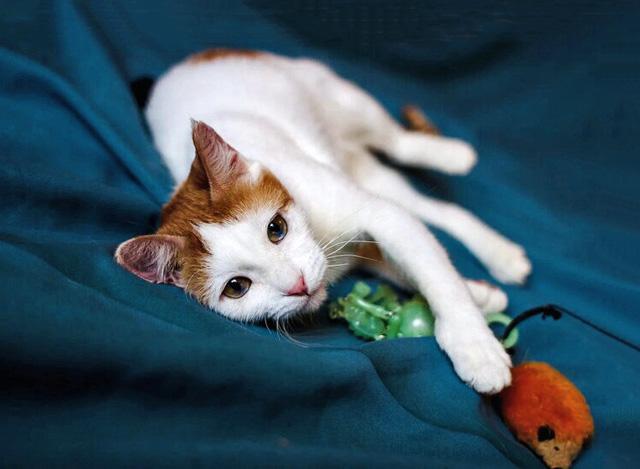 Ласковая домашняя кошечка Кнопка ищет дом