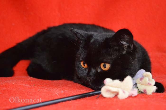 Шотландские котята-котики чисто черного окраса.